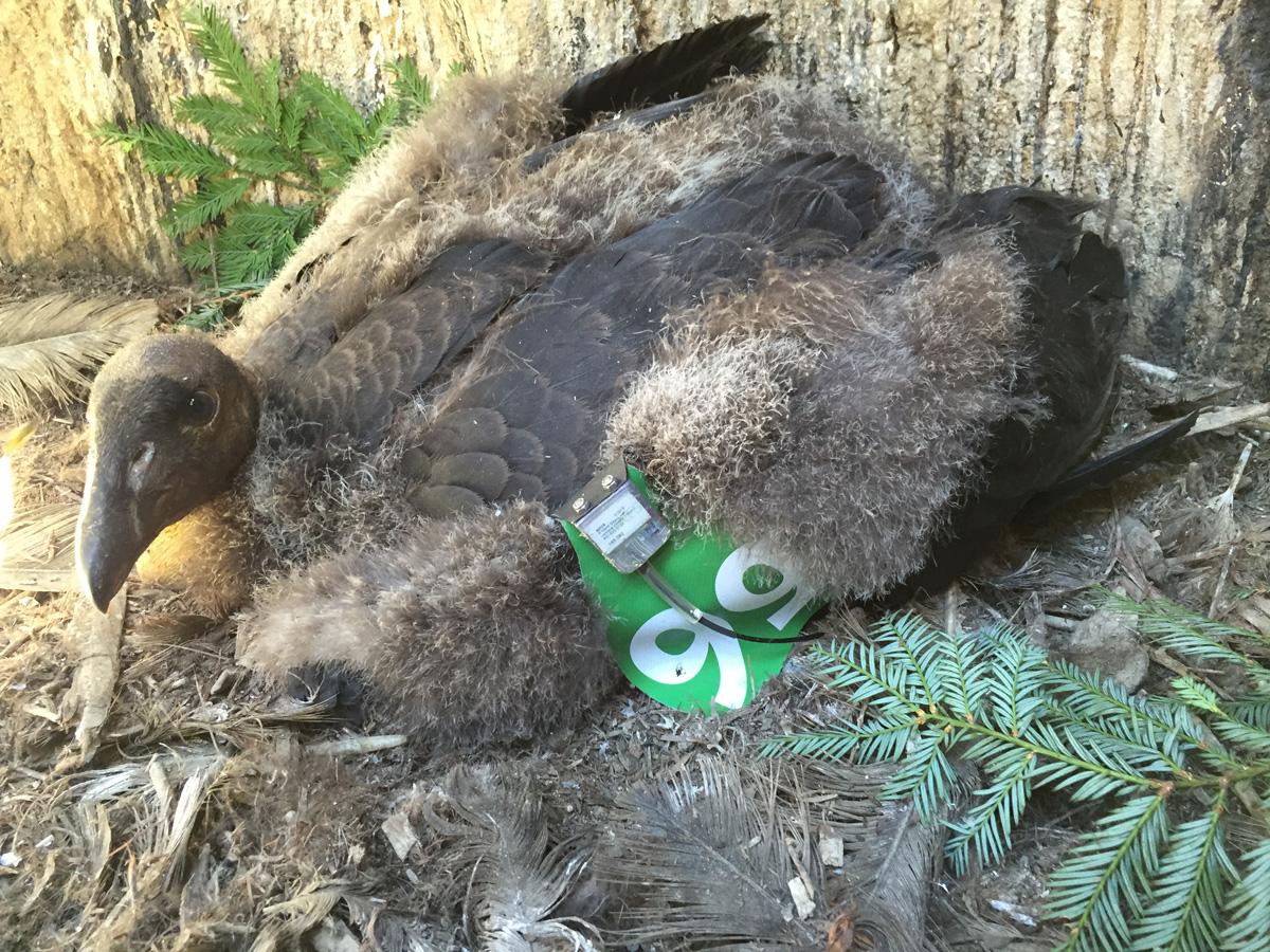 Watch condor chick #799 navigate her nest via live-streaming webcams ...